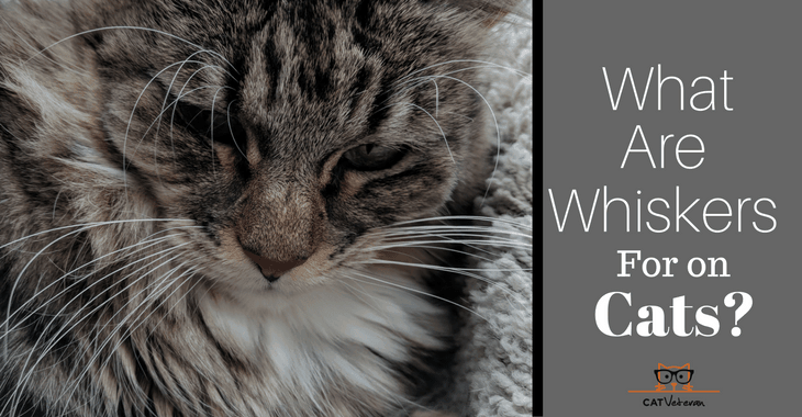 What Are Whiskers For On Cats?