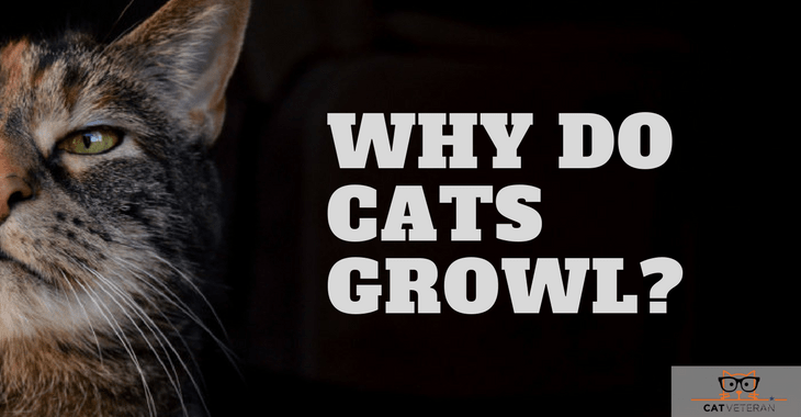 Why DO Cats Growl