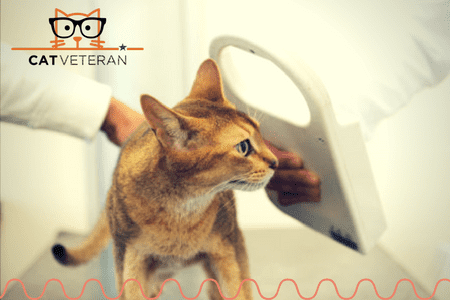 checking for a microchip implant on a cat using a scanner