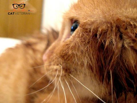 kitten with a wet face from a flea bath