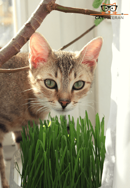 cat eating green grass