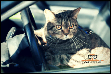 cat in a car sitting at steering wheel ready to drive