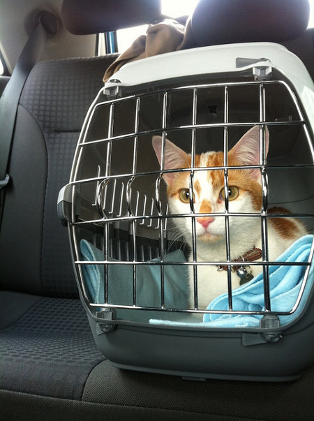 cat in a hard sided pet carrier