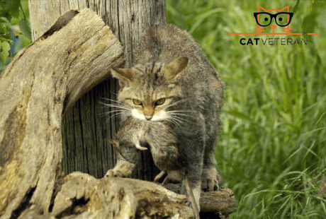 wild cat next to a log with a dead rat in mouth