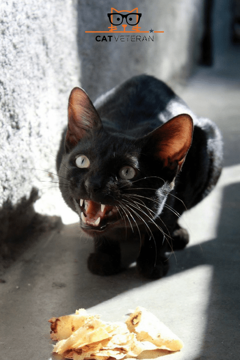 black cat hovering over food hissing to protect it