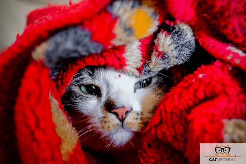 cat hiding in blankets cat veteran (2)