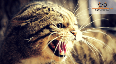 cat hissing and being aggressive