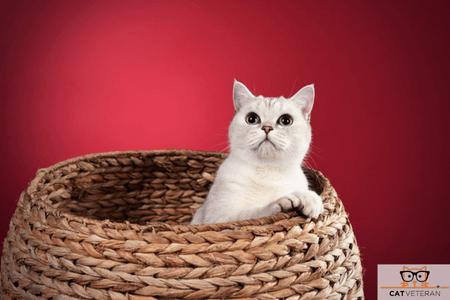 cat in box cat veteran