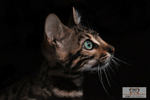 green eyed cat looking intently and waiting in the darkness