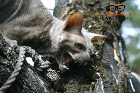 grey aggressive cat out side on a log hissing