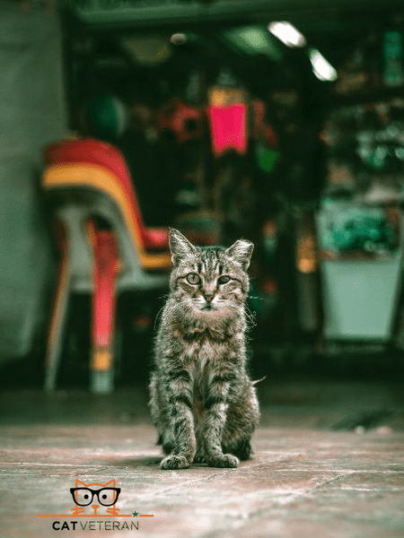 mangy cat sitting in the middle of the street in singapore