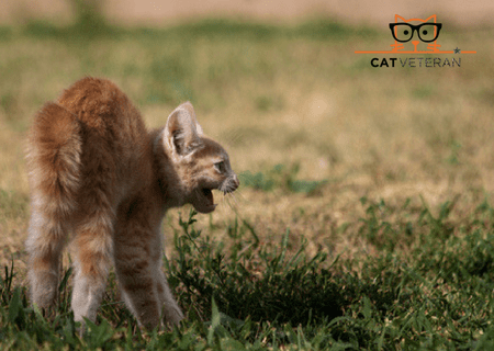 orange angry kitten with fluffed tail and arched back hissing aggressively