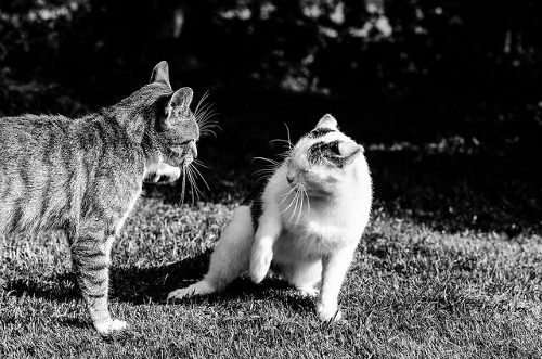 two cats squaring off and being aggressive