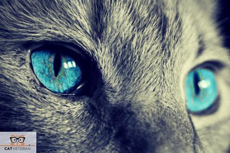 blue cat eyes cat veteran