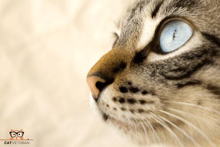 close up cat face cat eyes cat veteran