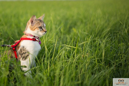 cat harness outdoor cat cat veteran