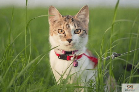 cat harness outside cat cat veteran