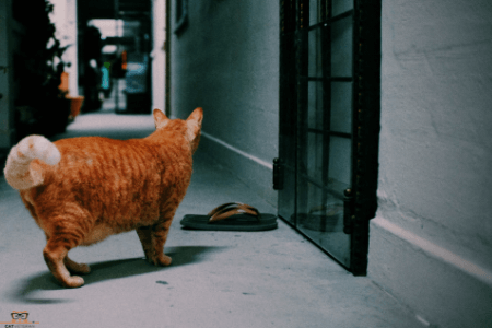 orange cat in empty house cat veteran