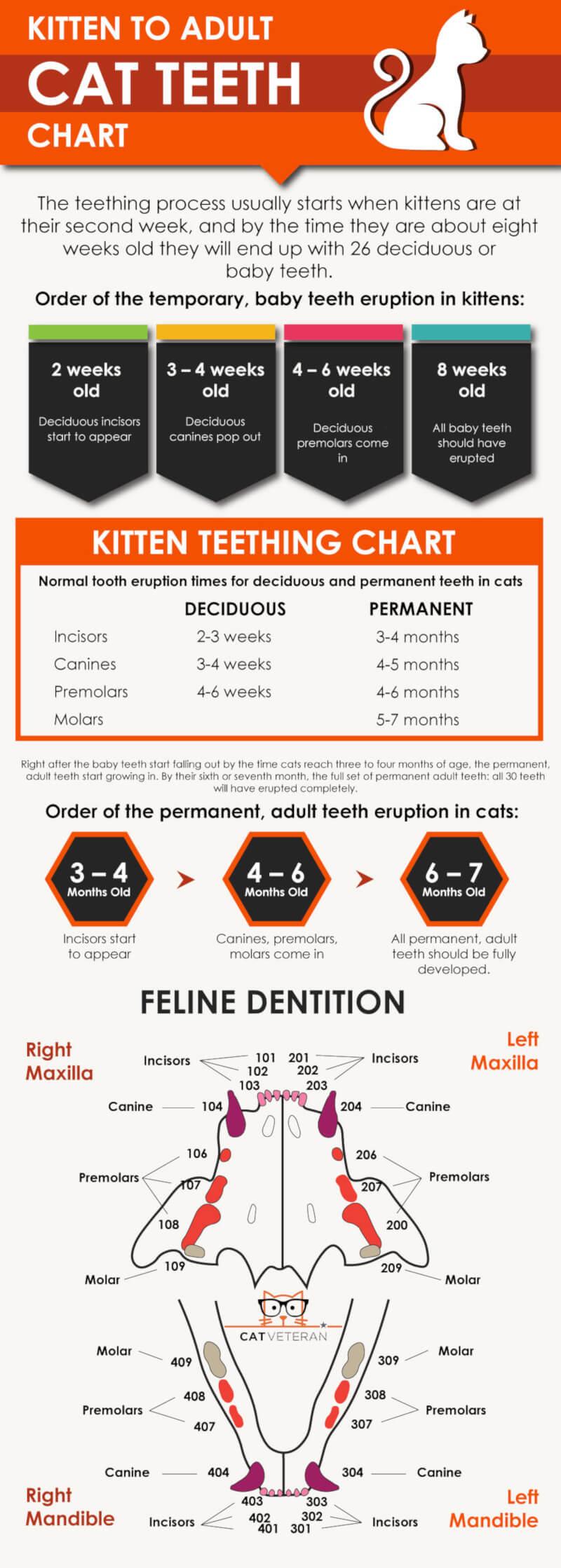 Cat Teeth Chart