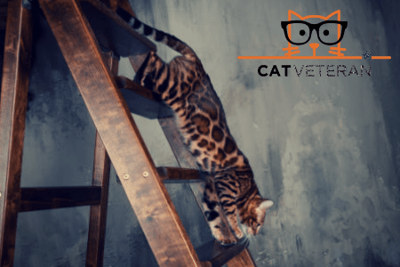 bengal cat runs along the ladder