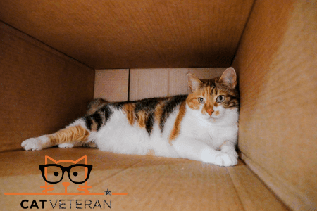 calico cat in a cardboard box