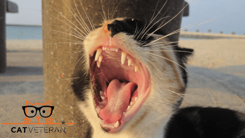 calico cat outside with mouth wide open to see all their teeth