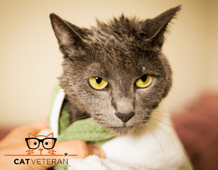 gray cat wrapped in a towel drying off after a bath