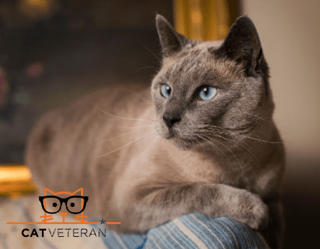 siamese cat focusing while sitting on edge of couch