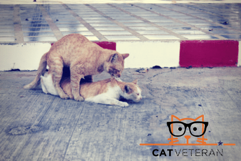 to orange tabby cats mating outside on a cement slab