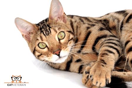 Bengal Hypoallergenic cat