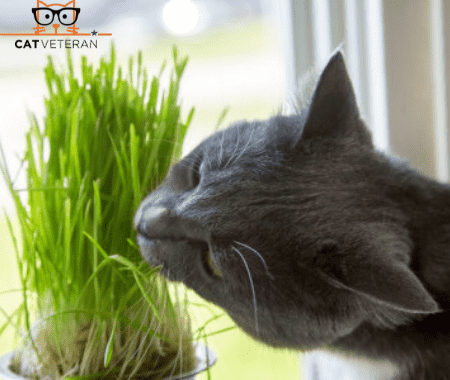 Gray cat eating oat grass from flowerpot