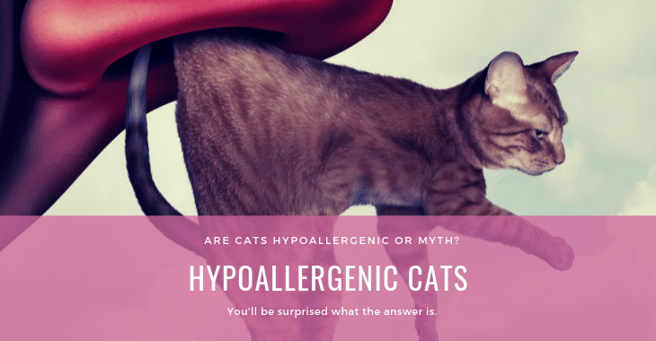 Hypoallergenic Cats A Myth