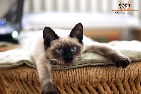 Siamese cat hypoallergenic cat