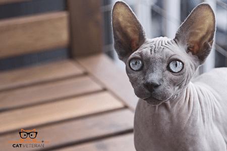 Sphynx Hypoallergenic cat