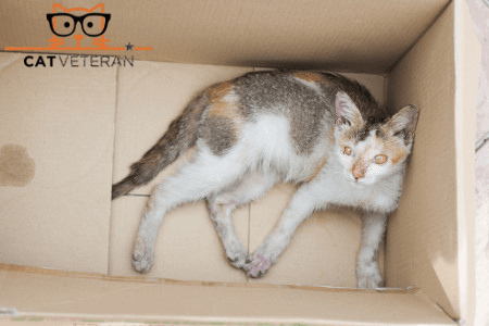 mange diseased stray cat in cardboard box being rescued