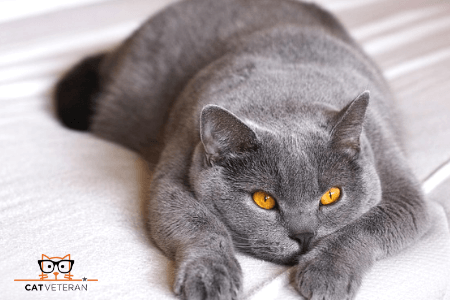 shorthair hypoallergenic cat