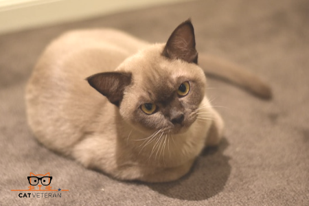 siamese hypoallergenic cat