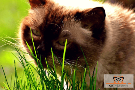 cat eating grass cat veteran