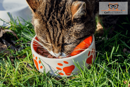 cat eating out of food bowl on grass cat veteran