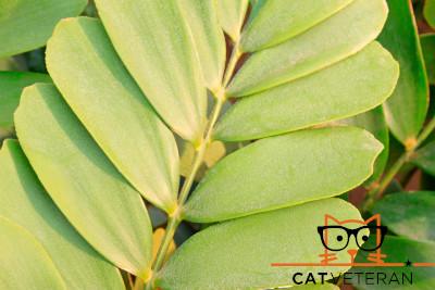 A cardboard palm frond scientific zamia furfuracea