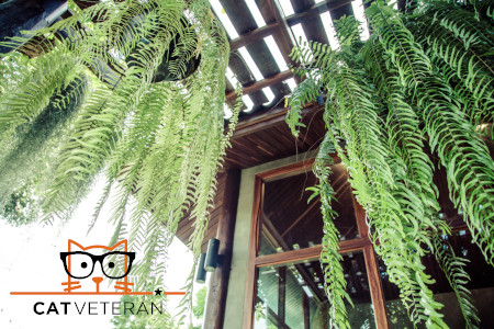 Boston Fern is a very popular house plant grown in hanging baskets