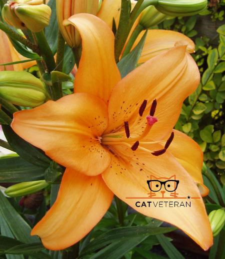 Orange Day Lily