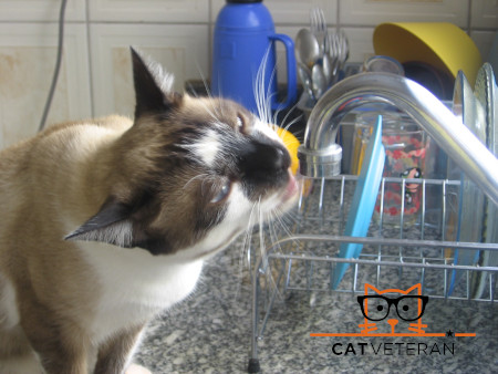 calico cat drinking from a kitchen faucet