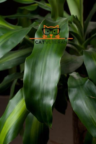 dracaena fragrans corn plant