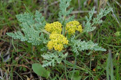 spring parsley
