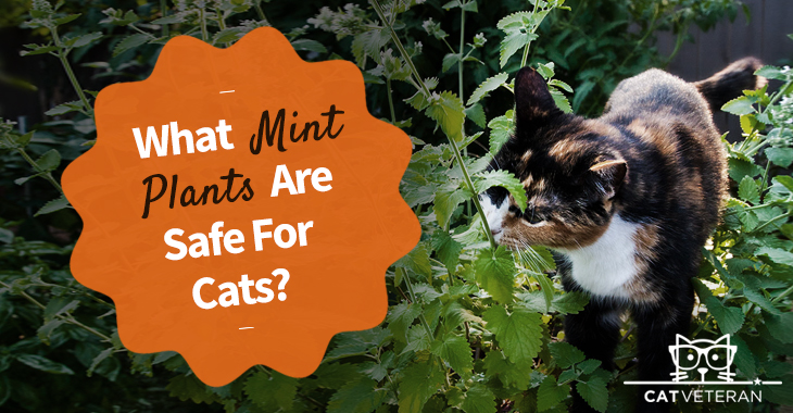 is mint safe for cats